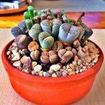 Cactus – Lithops