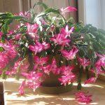 Cactus – Schlumbergera