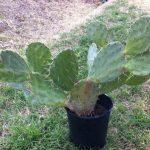 Cactus – Opuntia